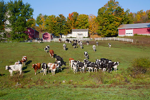 COW 02 LS0084 01 © Kimball Stock Holstein Dairy Cows In October Pasture, Salem, New York