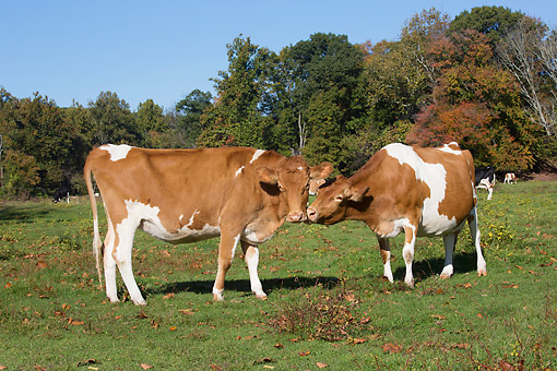 COW 02 LS0085 01 © Kimball Stock Guernsey Dairy Cows Kissing In Pasture In Autumn, Granby, Connecticut