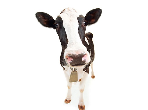 COW 02 MB0002 01 © Kimball Stock Wide Angle Shot Of Holstein Cow On White Seamless