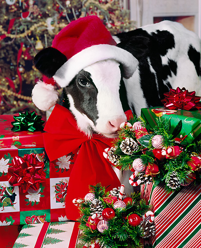 COW 02 RK0014 11 © Kimball Stock Black And White Calf Wearing Santa Hat Standing By Presents