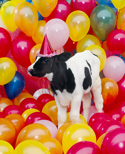 COW 02 RK0016 07 © Kimball Stock Black And White Dairy Calf Standing Among Balloons Wearing Party Hat