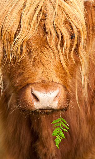 COW 02 WF0005 01 © Kimball Stock Head Shot Of Highland Cow With Leaf In Mouth