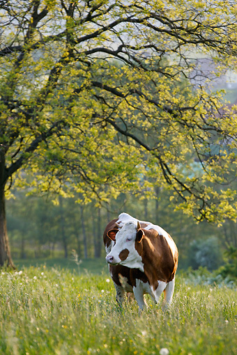 COW 02 KH0001 01 © Kimball Stock Simmental Cow Standing In Pasture Under Tree