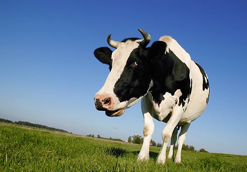 COW 02 KH0009 01 © Kimball Stock Holstein Cow Standing In Pasture