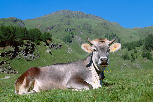 COW 02 KH0025 01 © Kimball Stock Tyrolian Grey Cow Laying In Alpine Meadow Austria