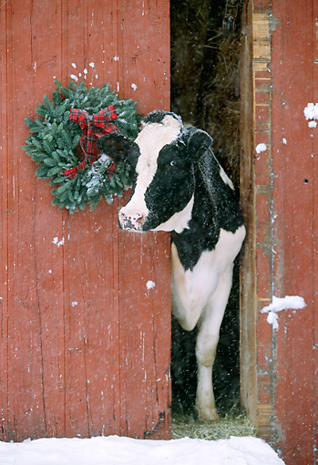 COW 02 LS0002 01 © Kimball Stock Holstein Cow Poking Head Out Of Red Barn By Christmas Wreath