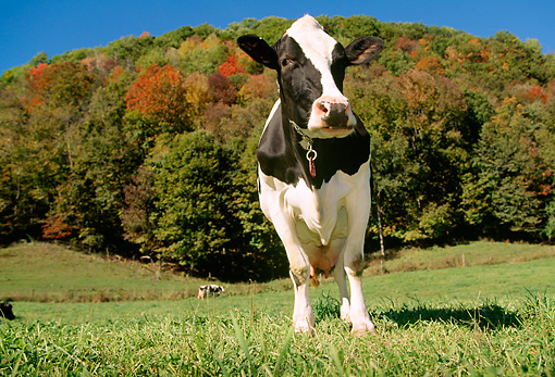 COW 02 LS0006 01 © Kimball Stock Portrait Of Holstein Cow Standing In Field By Autumn Trees Blue Sky