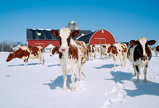 COW 02 LS0013 01 © Kimball Stock Herd Of Ayrshire Cattle Standing On Snow By Barn Blue Sky