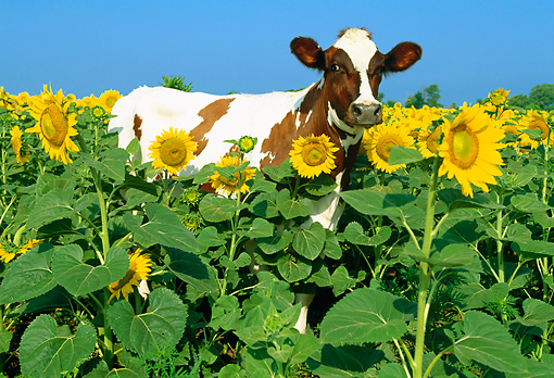 COW 02 LS0015 01 © Kimball Stock Ayrshire Cow Standing In Field Of Sunflowers Blue Sky
