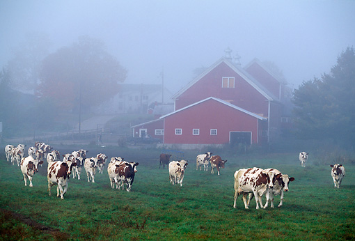 COW 02 LS0017 01 © Kimball Stock Herd Of Ayrshire Cattle Walking By Red Barn In Fog