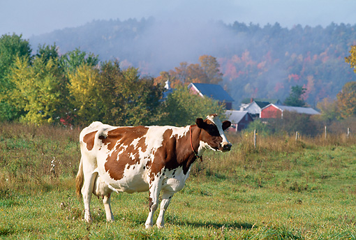 COW 02 LS0018 01 © Kimball Stock Ayrshire Cow Standing In Field By Red Barn And Autumn Trees