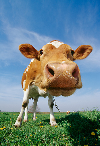 COW 02 LS0019 01 © Kimball Stock Wide Angle Head Shot Of Guernsey Cow Looking At Camera In Pasture Blue Sky