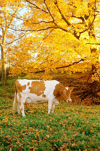 COW 02 LS0020 01 © Kimball Stock Guernsey Cow Standing In Pasture Under Autumn Tree