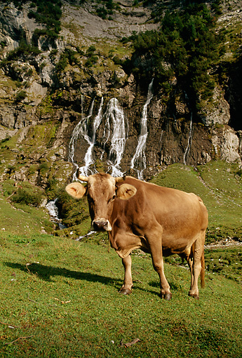 COW 02 LS0034 01 © Kimball Stock Brown Swiss Cow Standing On Hillside Pasture By Trees Switzerland