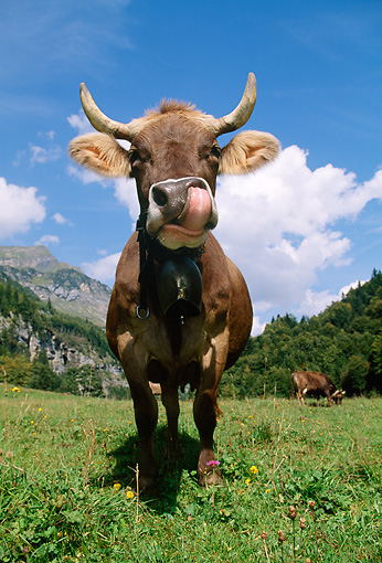 COW 02 LS0036 01 © Kimball Stock Brown Swiss Cow Standing On Pasture By Trees Mountain Switzerland