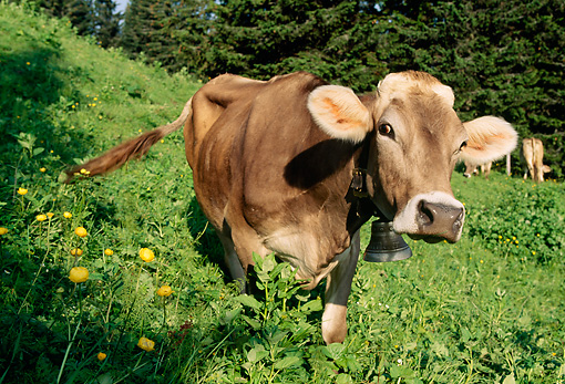 COW 02 LS0037 01 © Kimball Stock Brown Swiss Cow Standing On Hillside Pasture By Trees Switzerland