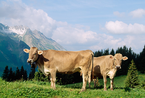 COW 02 LS0038 01 © Kimball Stock Two Brown Swiss Cows Standing On Hillside Pasture By Trees Mountain Switzerland