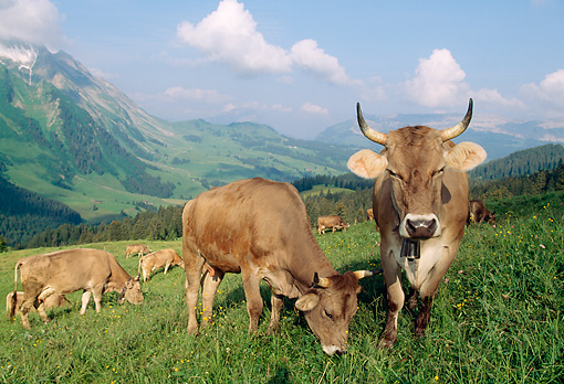 COW 02 LS0039 01 © Kimball Stock Brown Swiss Cows Grazing In Hillside Pasture By Mountain Switzerland
