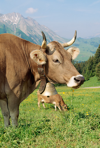 COW 02 LS0040 01 © Kimball Stock Brown Swiss Cows Grazing In Hillside Pasture By Mountain Switzerland