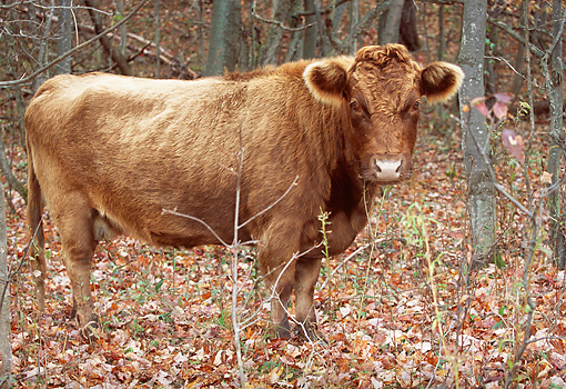 COW 02 LS0041 01 © Kimball Stock Dexter Cow Standing Among Autumn Trees