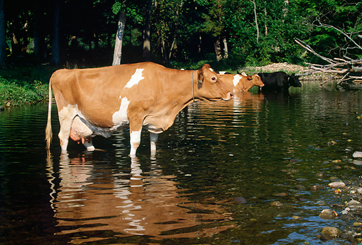 COW 02 LS0045 01 © Kimball Stock Guernsey Cattle Wading In Pond