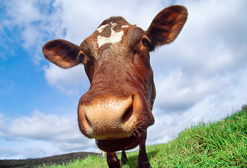 COW 02 LS0052 01 © Kimball Stock Low-Angle Head On Head Shot Of Dairy Cow Standing In Pasture Blue Sky