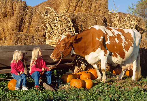 COW 02 LS0055 01 © Kimball Stock Guernsey Cow Standing By Two Girls, Hay Bales And Pumpkins