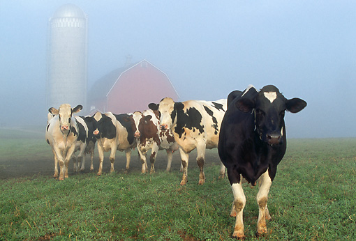 COW 02 LS0057 01 © Kimball Stock Holstein Cattle Standing In Morning Fog By Barn Illinois