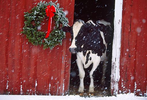 COW 02 LS0058 01 © Kimball Stock Holstein Cow Peeking Out Of Barn Door By Christmas Wreath