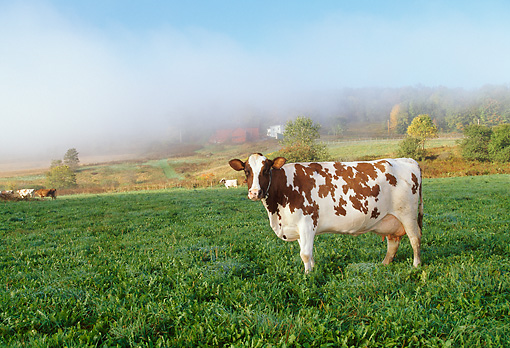 COW 02 LS0059 01 © Kimball Stock Ayrshire Cow Standing In Pasture New York