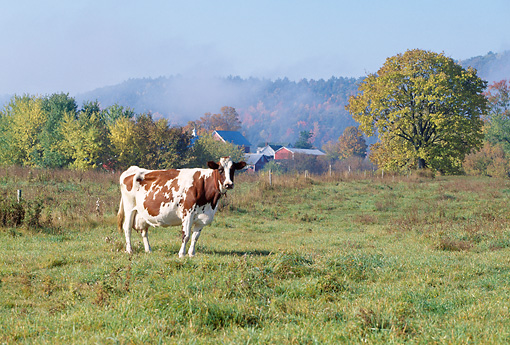 COW 02 LS0060 01 © Kimball Stock Ayrshire Cow Standing In Pasture By Red Barn And Autumn Trees