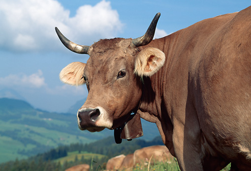 COW 02 LS0064 01 © Kimball Stock Close-Up Of Brown Swiss Cow Standing In Field By Mountains Switzerland