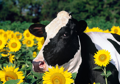 COW 02 LS0068 01 © Kimball Stock Head Shot Of Holstein Cow Standing By Sunflowers