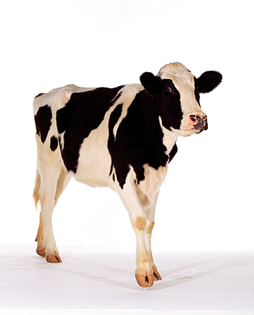 COW 02 RK0009 05 © Kimball Stock Black And White Dairy Cow On White Seamless Background
