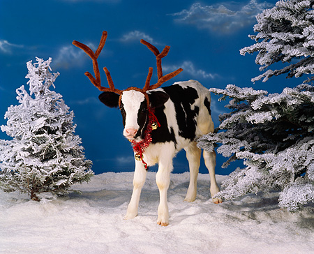 COW 02 RK0012 05 © Kimball Stock Black And White Calf Standing On Snow Wearing Antlers And Christmas Bells Around Neck