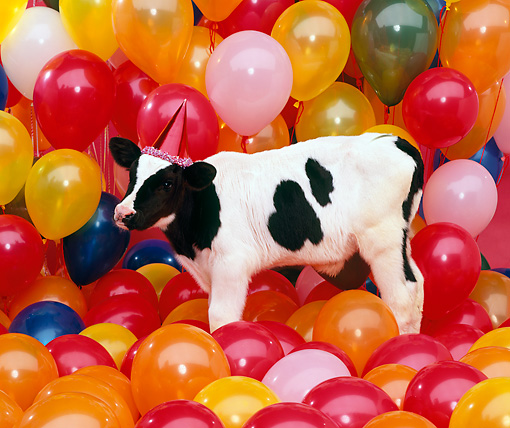 COW 02 RK0016 16 © Kimball Stock Black And White Dairy Calf Standing Among Balloons Wearing Party Hat