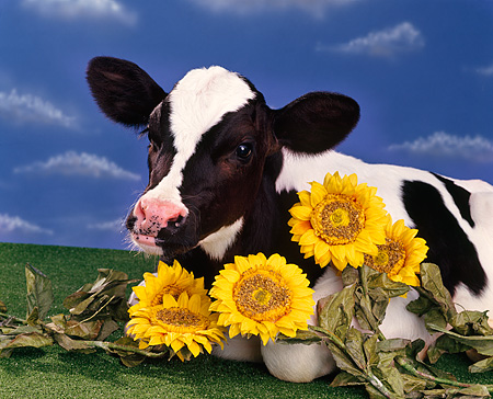 COW 02 RK0019 11 © Kimball Stock Head Shot Of Black And White Calf Laying Next To Sunflowers Blue Sky