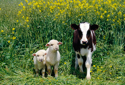 COW 02 RK0021 11 © Kimball Stock Black And White Calf With Two Lamb In Yellow Flower Field