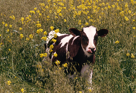 COW 02 RK0031 18 © Kimball Stock Black And White Calf Standing In Yellow Flower Field