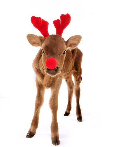 COW 02 RS0001 01 © Kimball Stock Humorous Calf Wearing Red Nose And Antlers On White Seamless