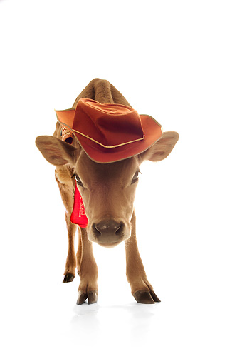COW 02 RS0003 01 © Kimball Stock Humorous Calf Wearing Hat And Bandana On White Seamless