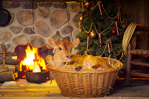 COW 02 RS0004 01 © Kimball Stock Humorous Calf Laying In Basket Beside Fireplace & Christmas Tree