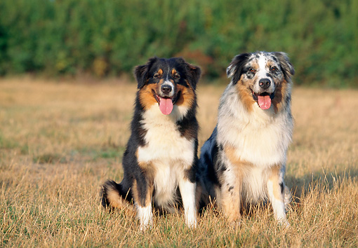 DOG 01 AB0005 01 © Kimball Stock Two Australian Shepherds Sitting In Grass Field