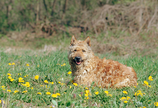DOG 01 AB0010 01 © Kimball Stock Belgian Shepherd Dog (Laekenois) Laying In Grass And Dandelions
