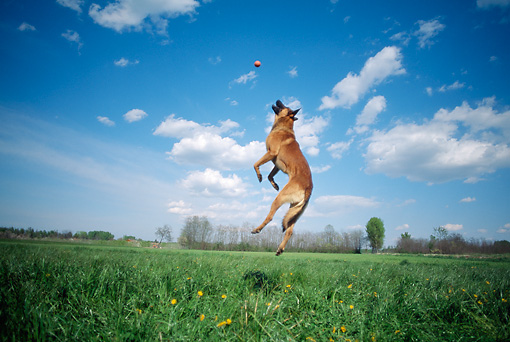 DOG 01 AB0011 01 © Kimball Stock Belgian Malinois Jumping To Catch Ball On Grass Field