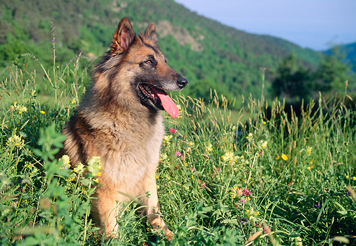 DOG 01 AB0012 01 © Kimball Stock Tervuren Belgian Shepherd Resting In Tall Grass And Wildflowers
