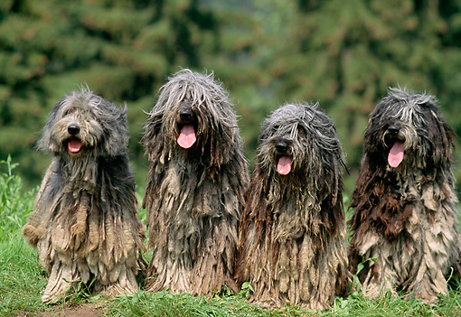 DOG 01 AB0014 01 © Kimball Stock Four Bergamasco Shepherds Sitting On Grass