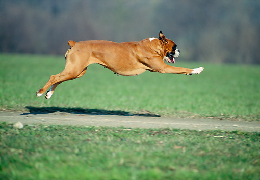 DOG 01 AB0015 01 © Kimball Stock Boxer Running On Path In Grass Field