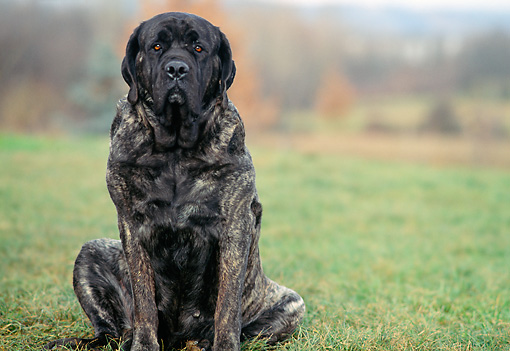 DOG 01 AB0022 01 © Kimball Stock English Mastiff Sitting On Grass