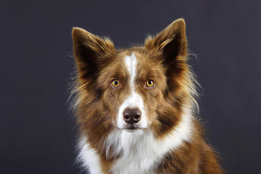 DOG 01 AC0023 01 © Kimball Stock Border Collie Portrait In Studio